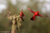 House Finch, Pyrruloxia and Cardinal