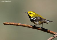Black-throated Green Warbler - Galveston, TX