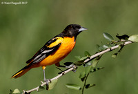 Baltimore Oriole - Galveston, TX
