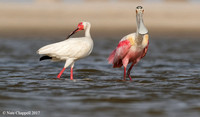 White Ibis and Roseate Spoonbill - San Luis Pass, TX