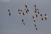 American Avocets - Galveston, TX