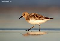 Sanderling - Bolivar Peninsula, Texas