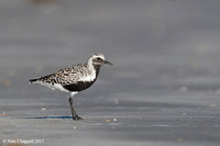 Black-bellied Plover - San Luis Pass, TX