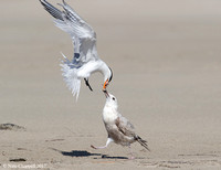 Royal Tern and Herring Gull - Galveston, TX
