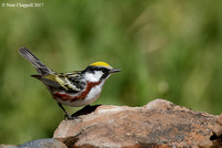 Chestnut-sided Warbler - Galveston, TX