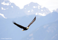 Eagle with Olympic Mountains