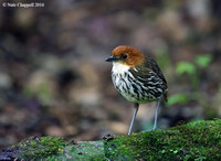 Chesnut-crowned Antpitta