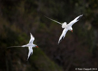 Red-billed Tropicbirds - Little Tobago Island, Trinidad and Toba