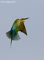 Swallow-tailed Bee Eater - Thale Noi, Thailand